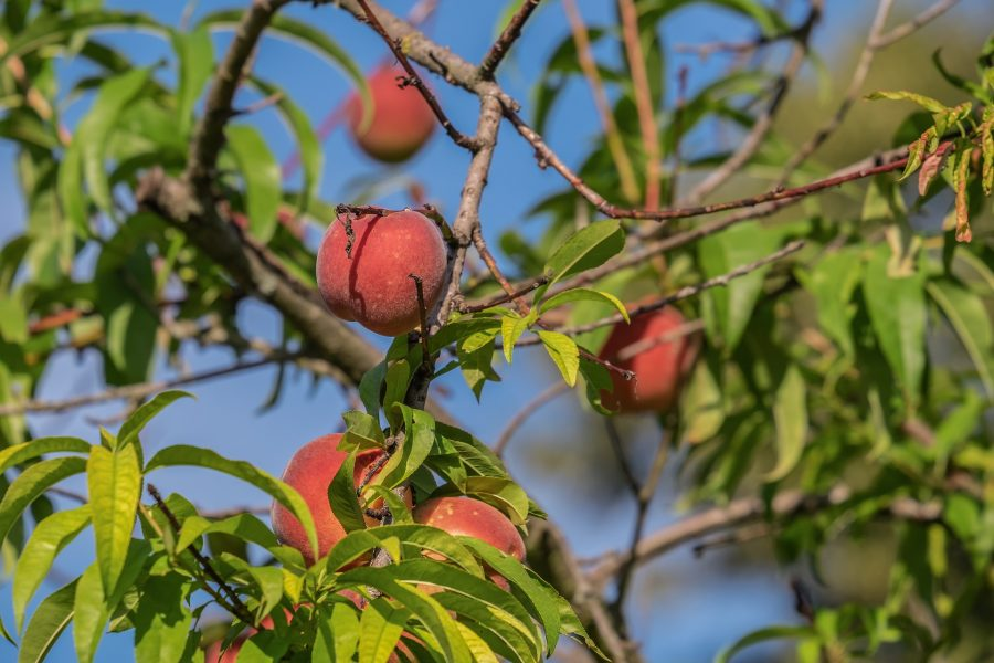 fruit on tree in orchard