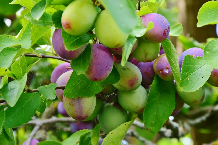 orchard fruit